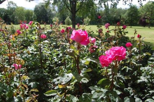 rose bed - Belair Park