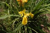 yellow iris pseudocorus