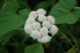 corky-fruited waterdropwort