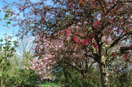 Cherry trees in Crystal Palace park
