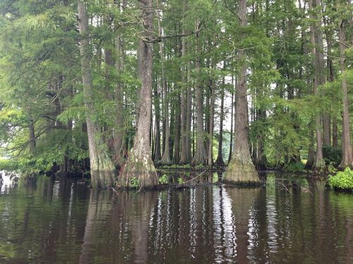 swamp cypress growing in Delaware